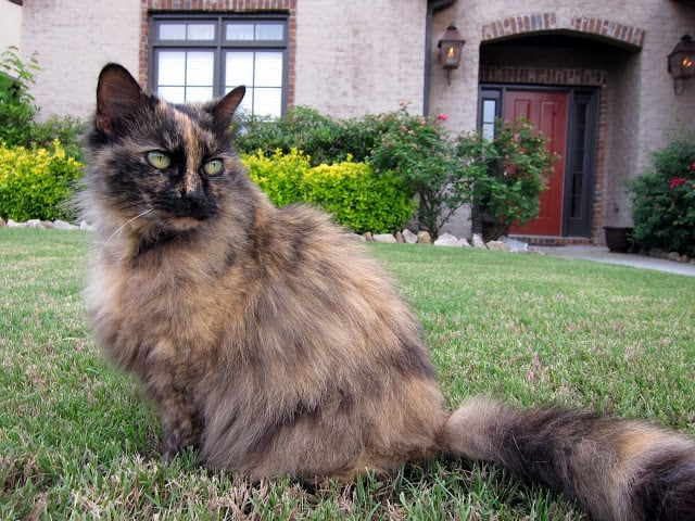 Meow Monday - we pay tribute to the life of Fluffy. Fluffy adopted us 10 years ago and stole our hearts right away. She lived a life full of love!