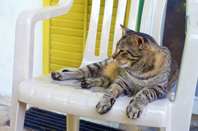 Hemingway Cat with 6 toes - Key West, FL
