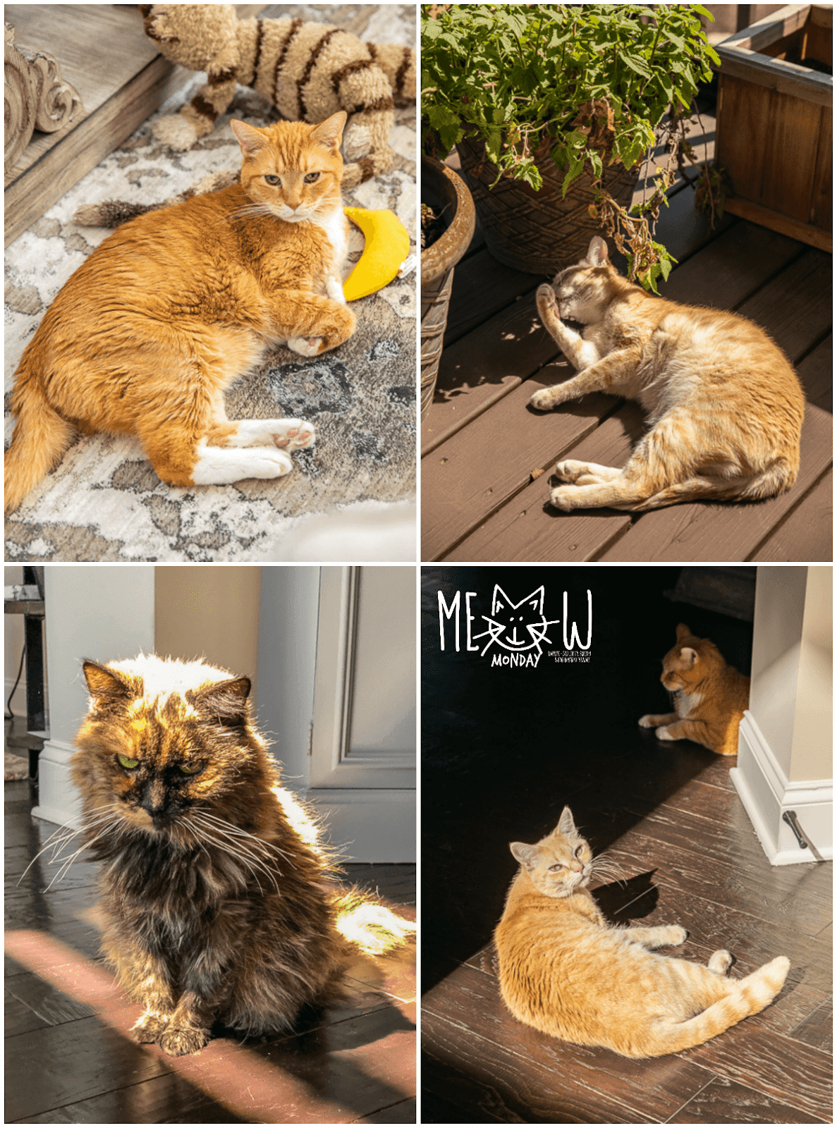 collage of four cat pictures