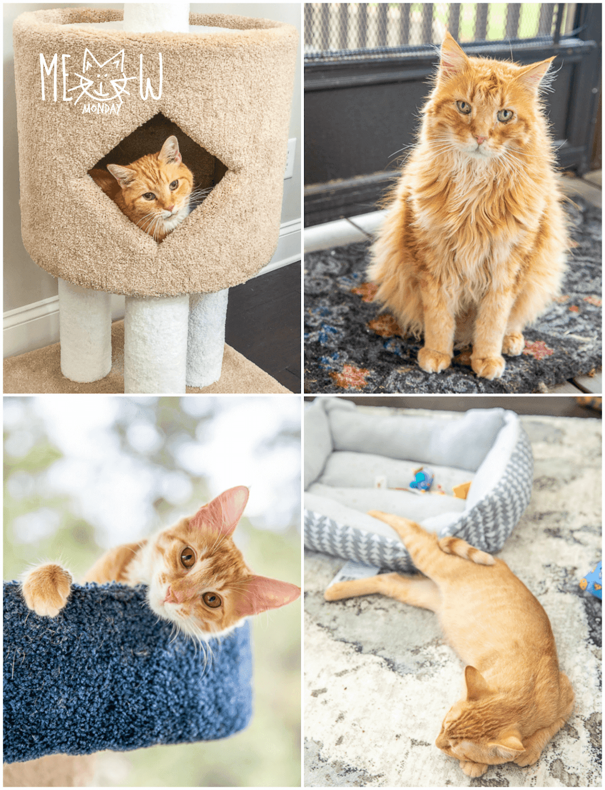collage of 4 cat pictures