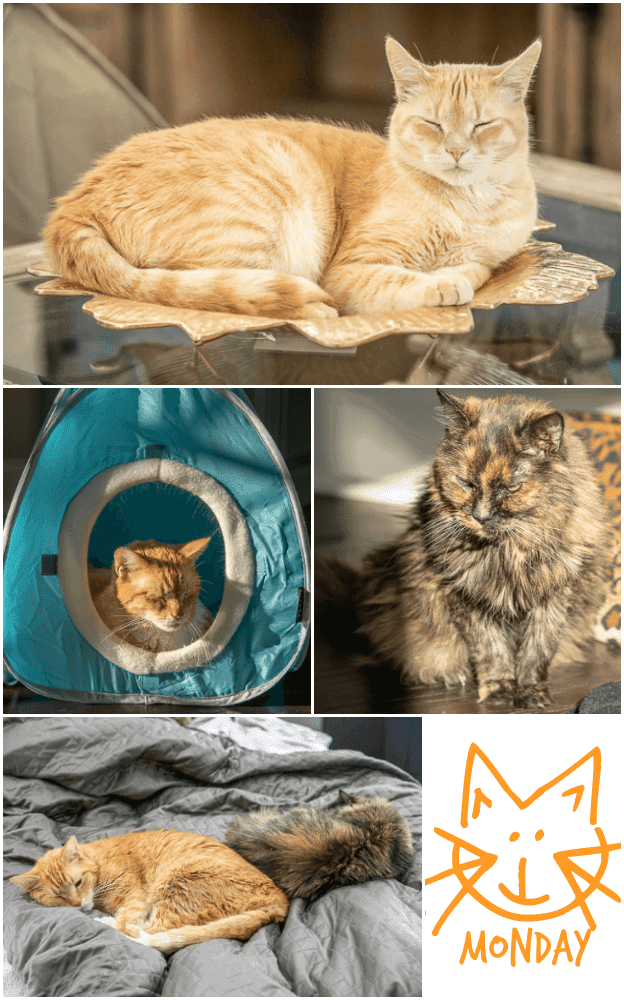 Meow Monday - pictures of cute cats to start off the week! Come see what Jack, Squeaky and Nacho Man Kitty Savage have been up to! #cats #kitty