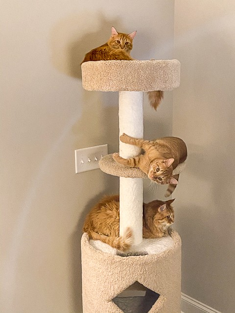 3 orange cats sitting on a cat tower