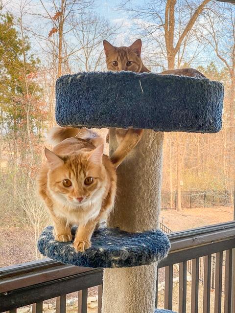 picture of 2 orange cats