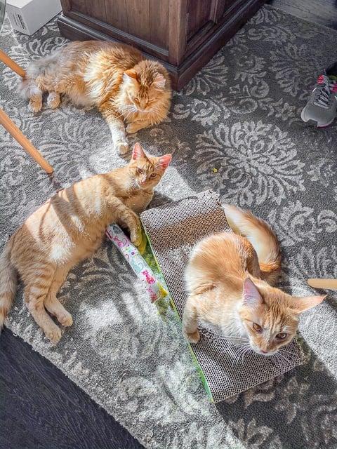 picture of 3 orange cats
