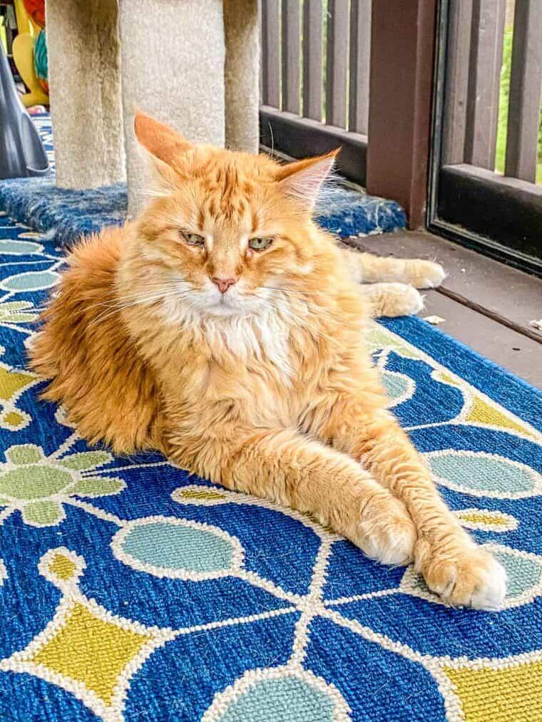 orange cat sitting on a rug