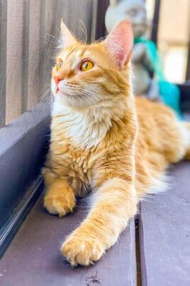 orange cat sitting outside