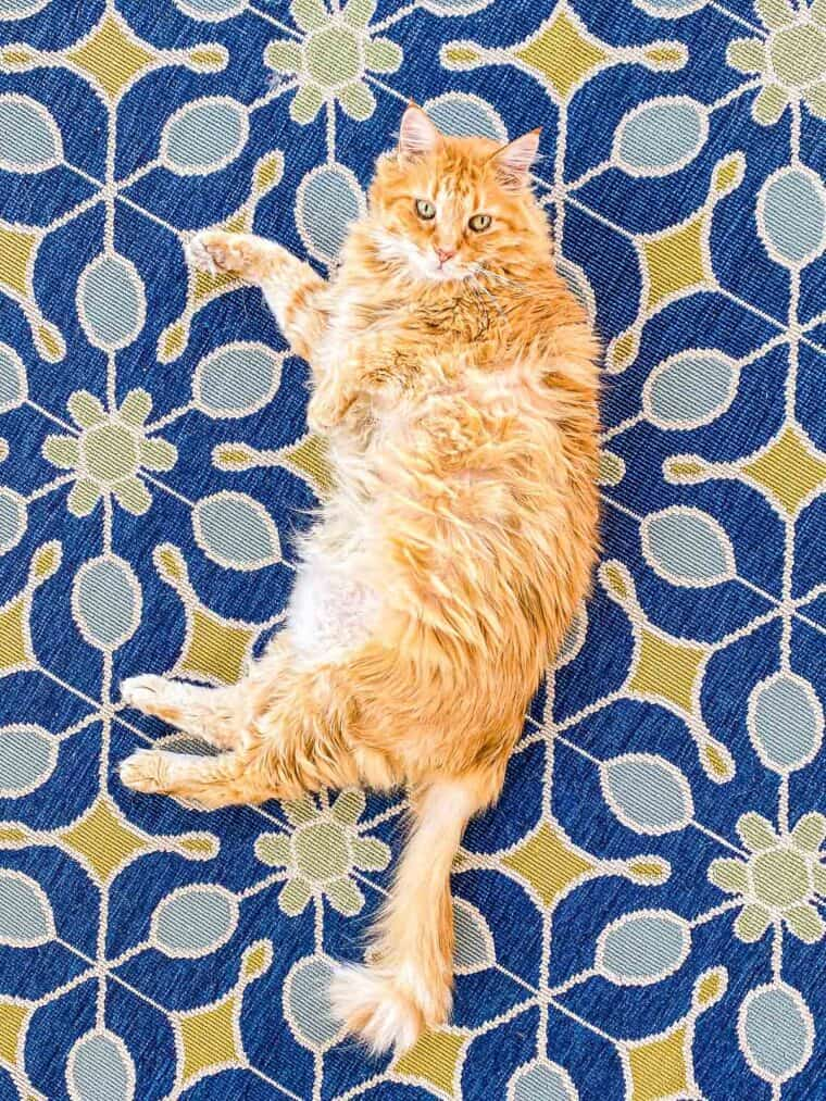 orange cat laying on a rug