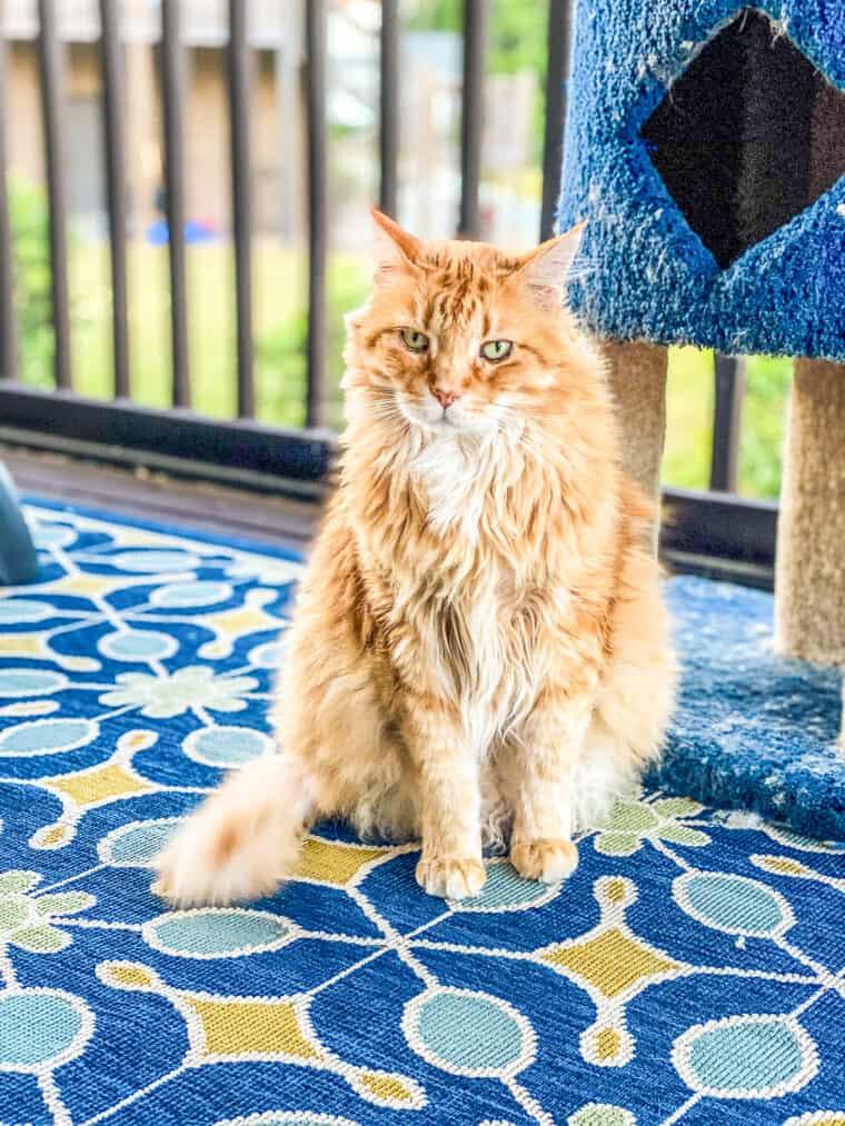 orange Katze sitzt auf Teppich