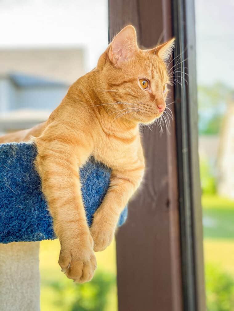orange cat in cat tower