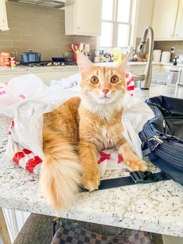orange cat sitting in grocery bag