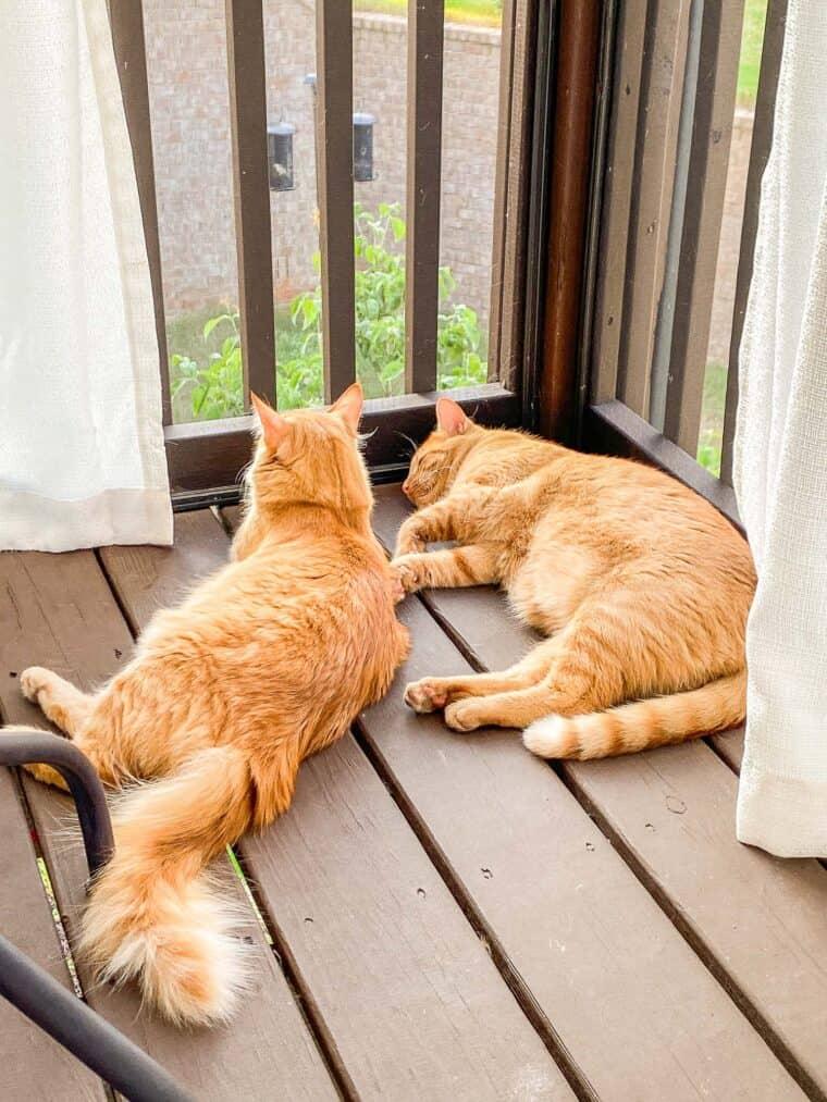 2 orange cats sleeping outside