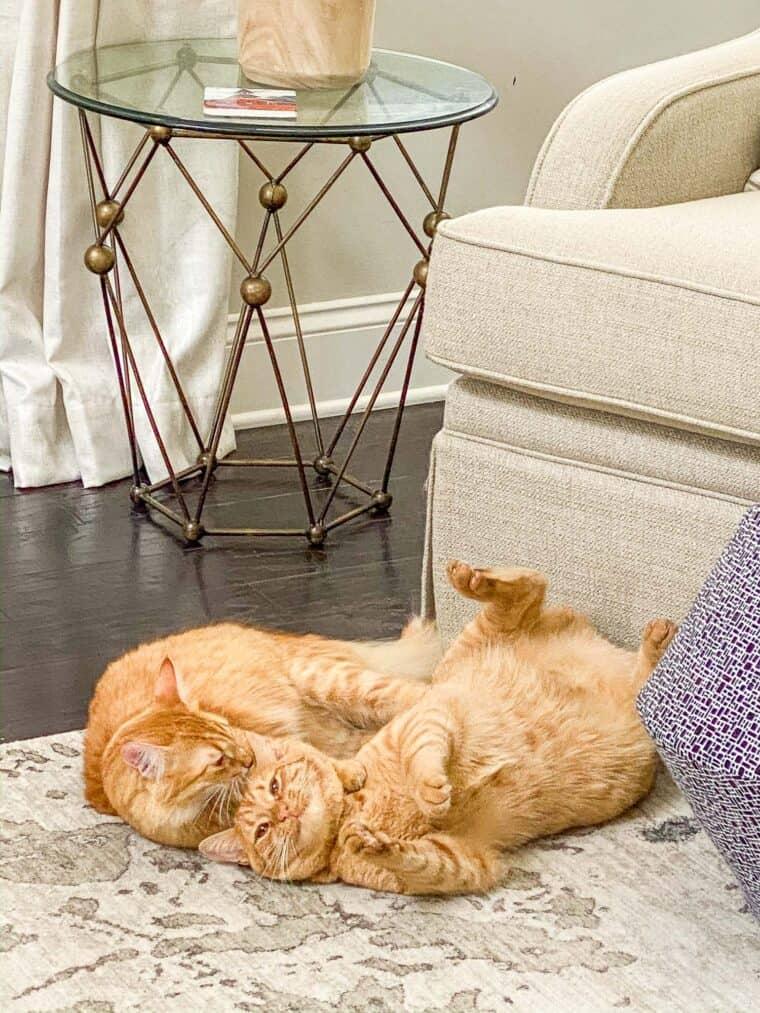 two orange cats wrestling