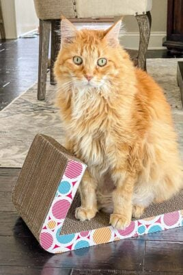 orange cat sitting on scratcher