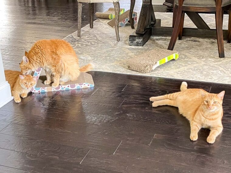 3 orange cats sitting on the floor