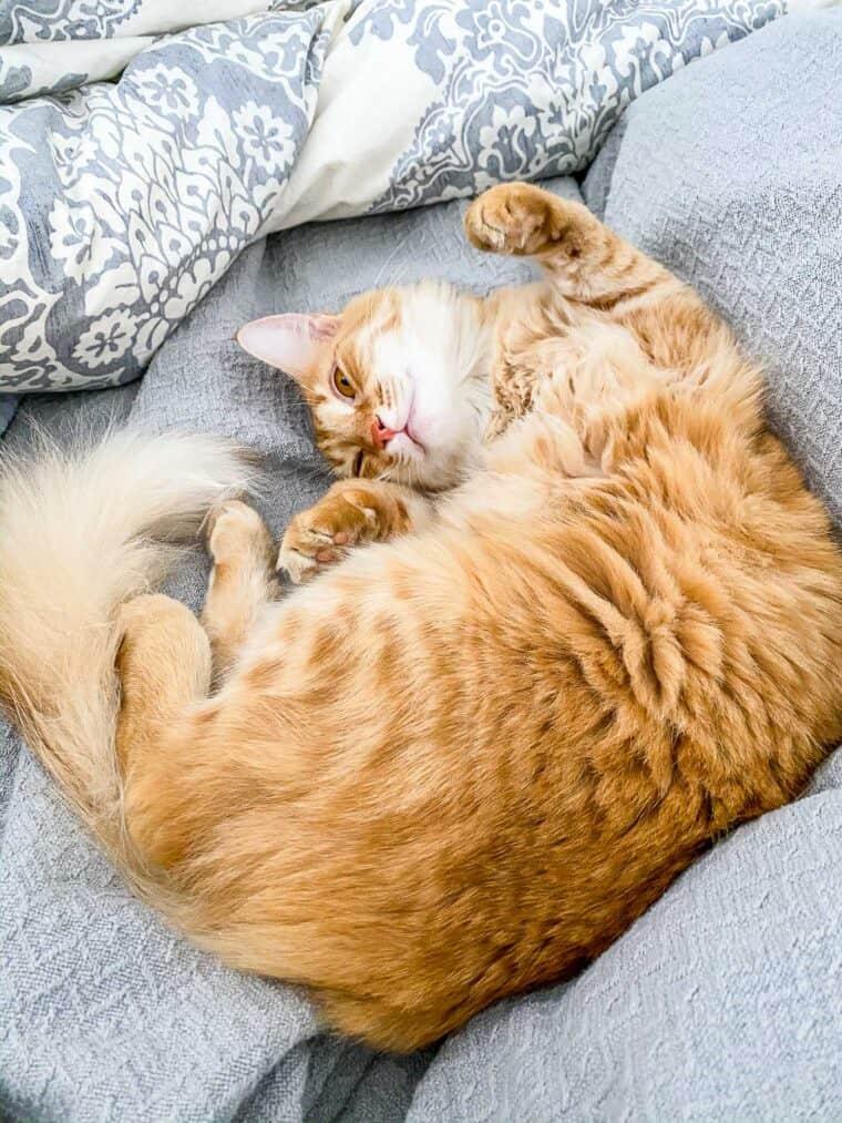 orange cat sleeping upside down