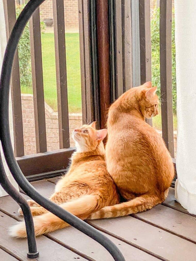 2 orange cats outside