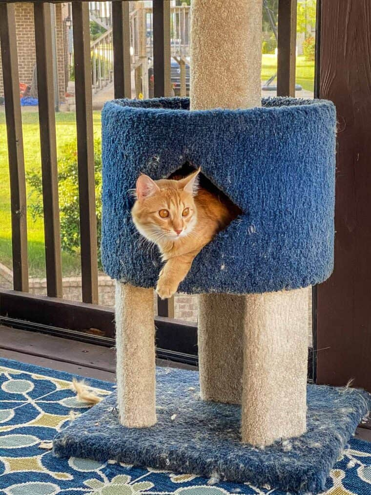 orange cat in cat tower