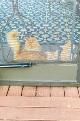 3 orange cats at a screened door