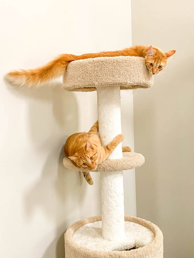 two orange cats on a cat tree