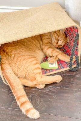 orange cat sleeping in bag