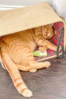 orange cat sleeping in bag