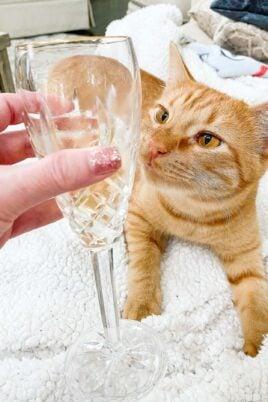 orange cat sniffing champagne
