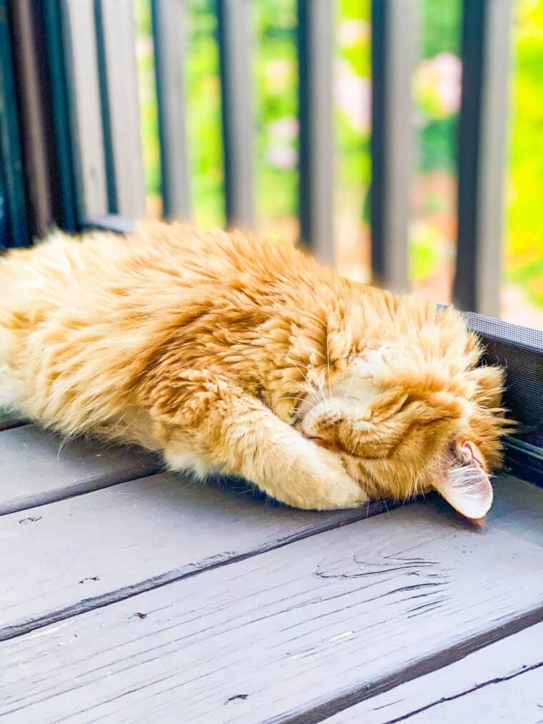 orange cat sleeping outside