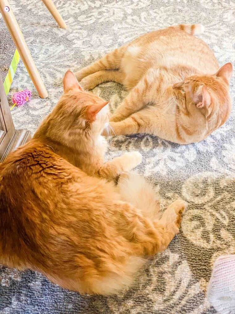 two orange cats sleeping
