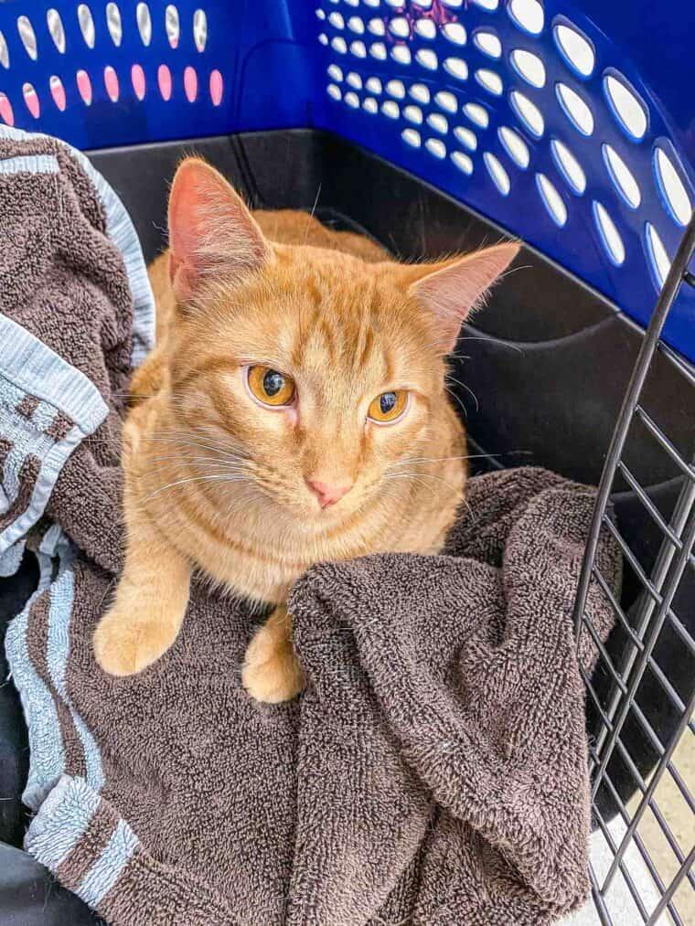 orange cat in carrier