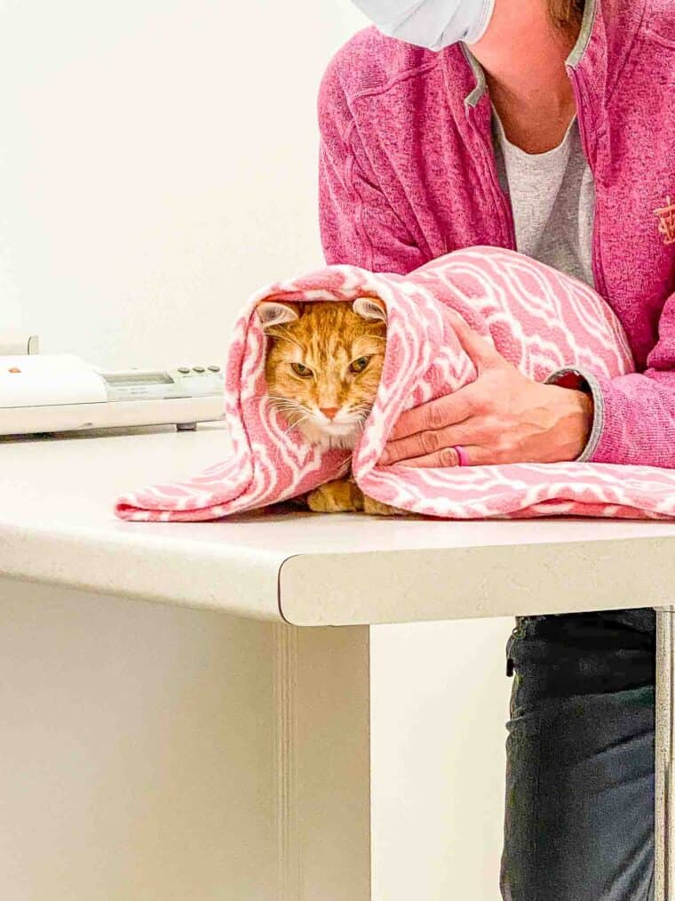 orange cat in towel