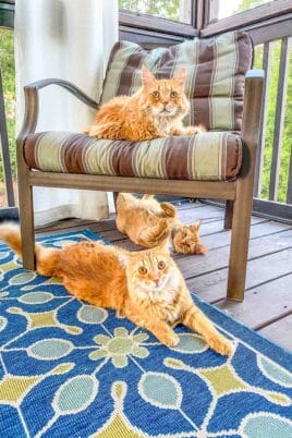 3 orange cats outside