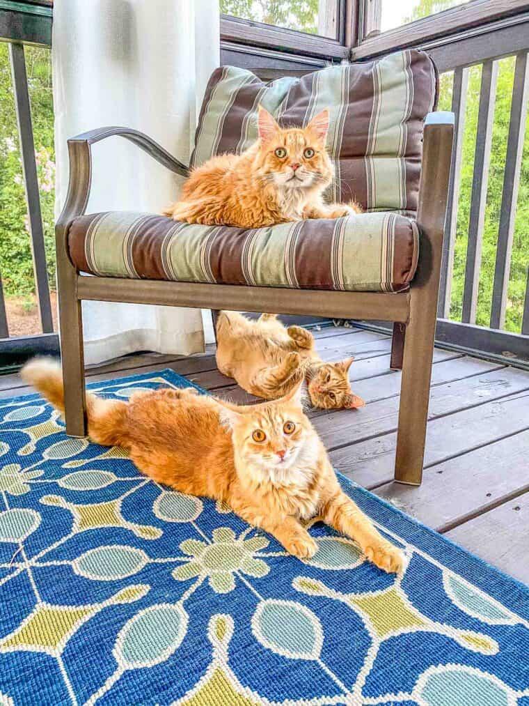 3 orange cats outside