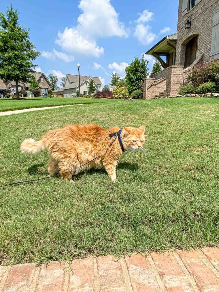 orange cat on a leash