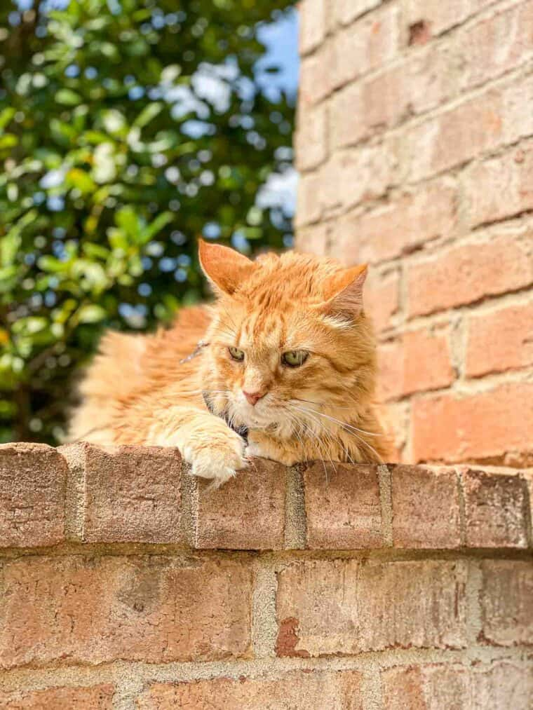 orange cat on a leash