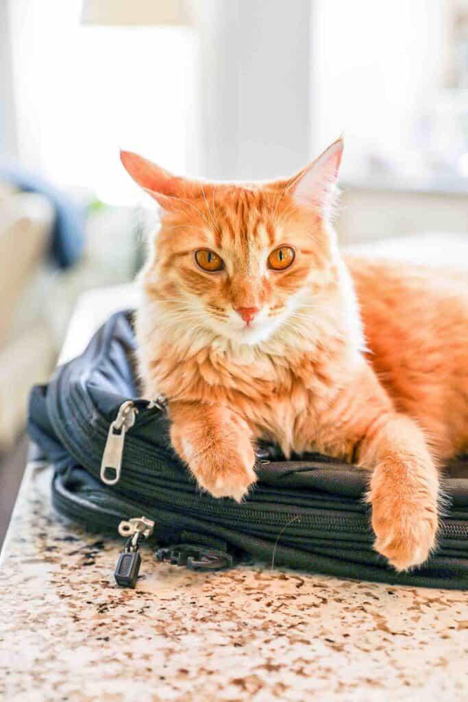 orange cat on backpack