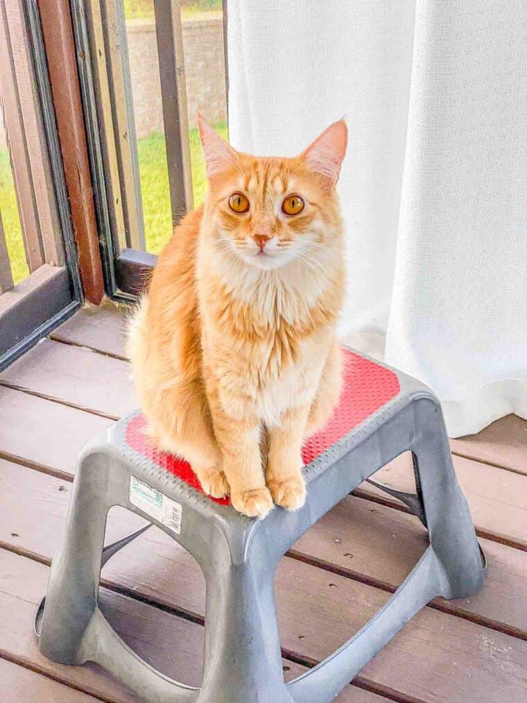 orange cat sitting on stool