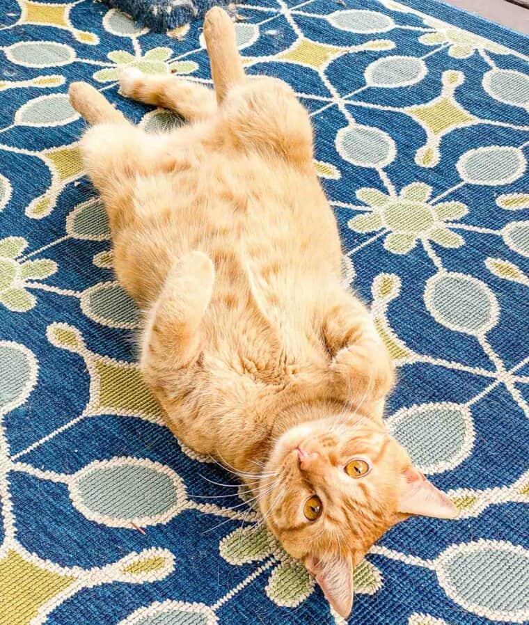 orange cat on his back