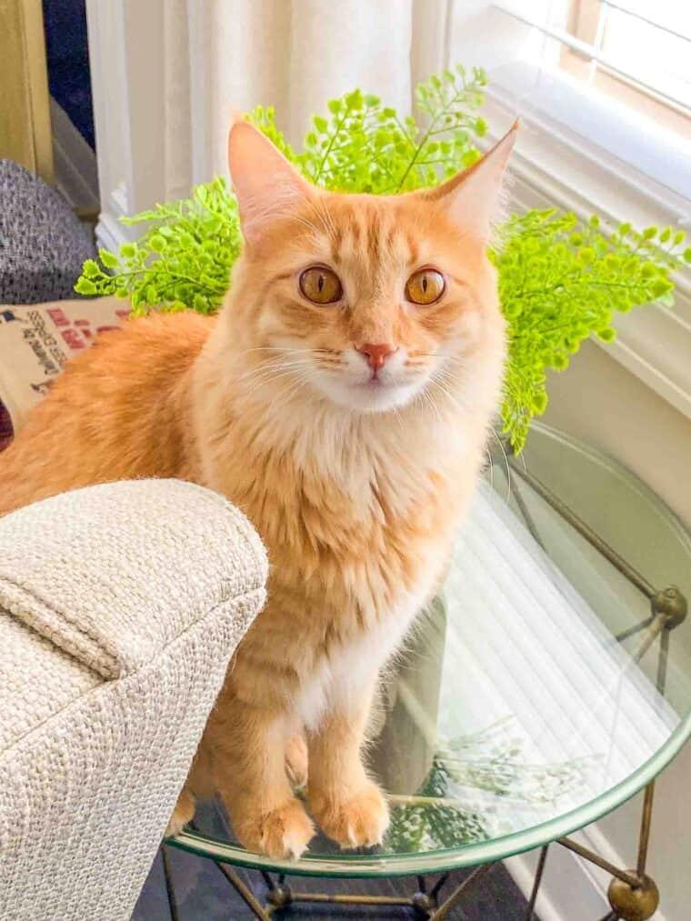 orange cat sitting on a table