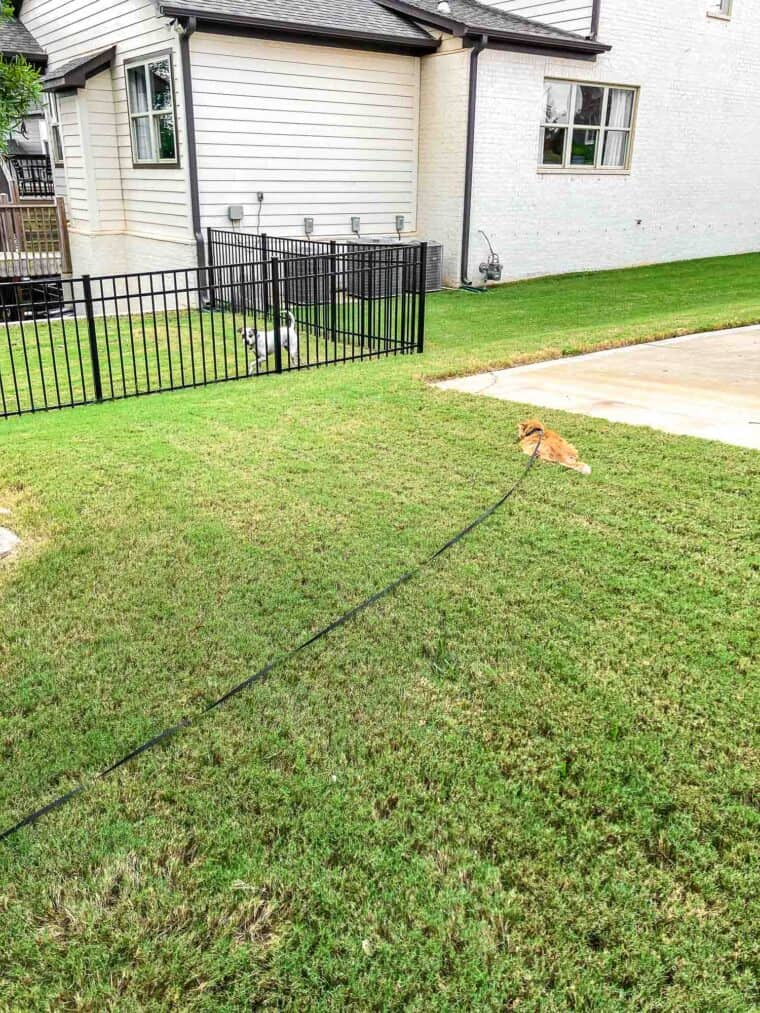 orange cat on a leash in front of a dog