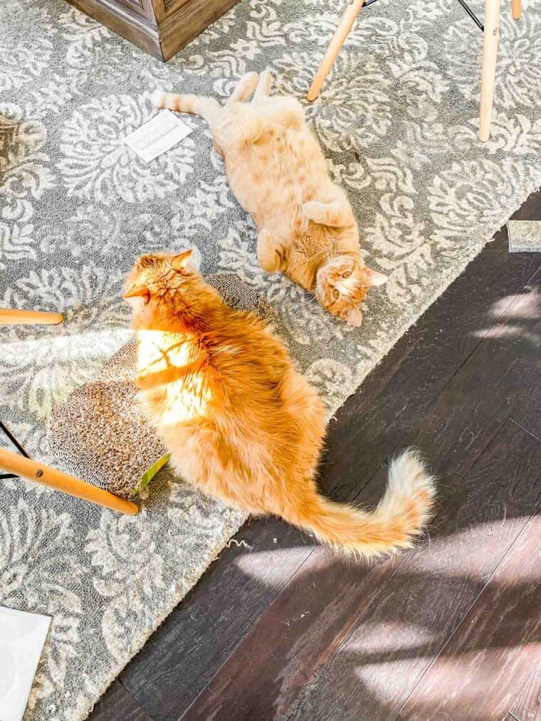 two orange cats laying on the floor