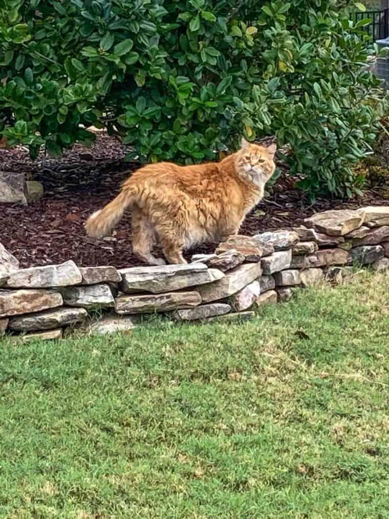 orange cat in the yard