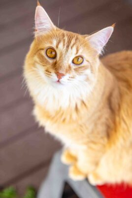 orange cat on a stool