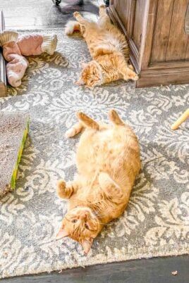 two orange cats lying on their backs