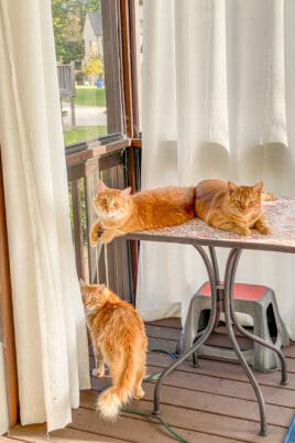 two orange cats on a table and one orange at standing on the deck