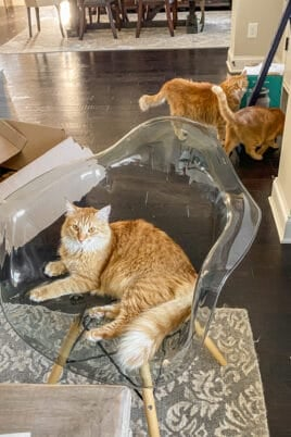 one orange cat in a chair with 2 orange cats standing behind it