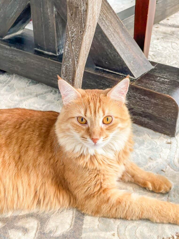 orange cat laying on the rug