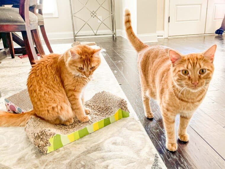 2 orange cats