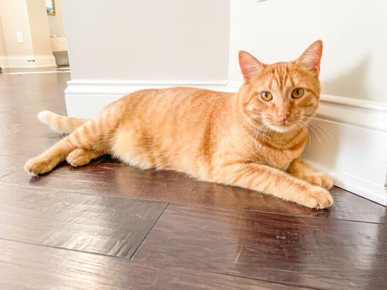 orange cat laying on the floor
