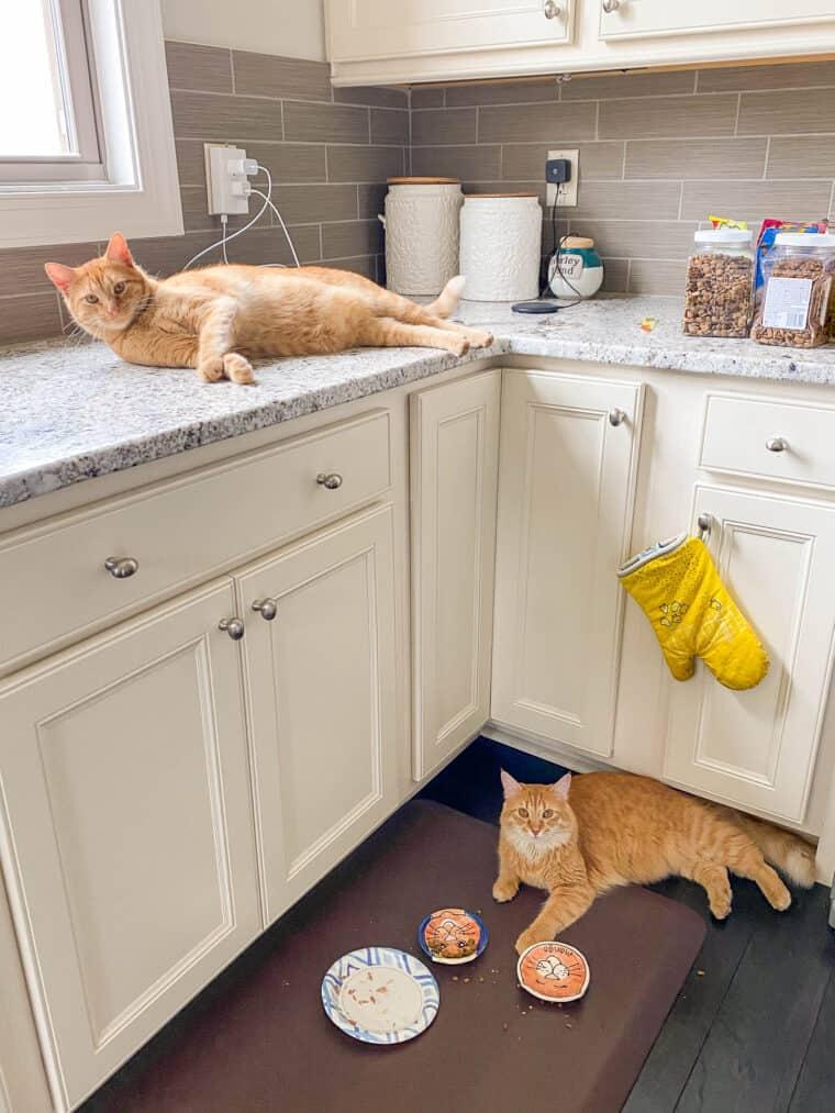 orange cat on the counter and one orange cat on the floor