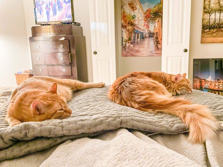 two orange cats sleeping on the bed